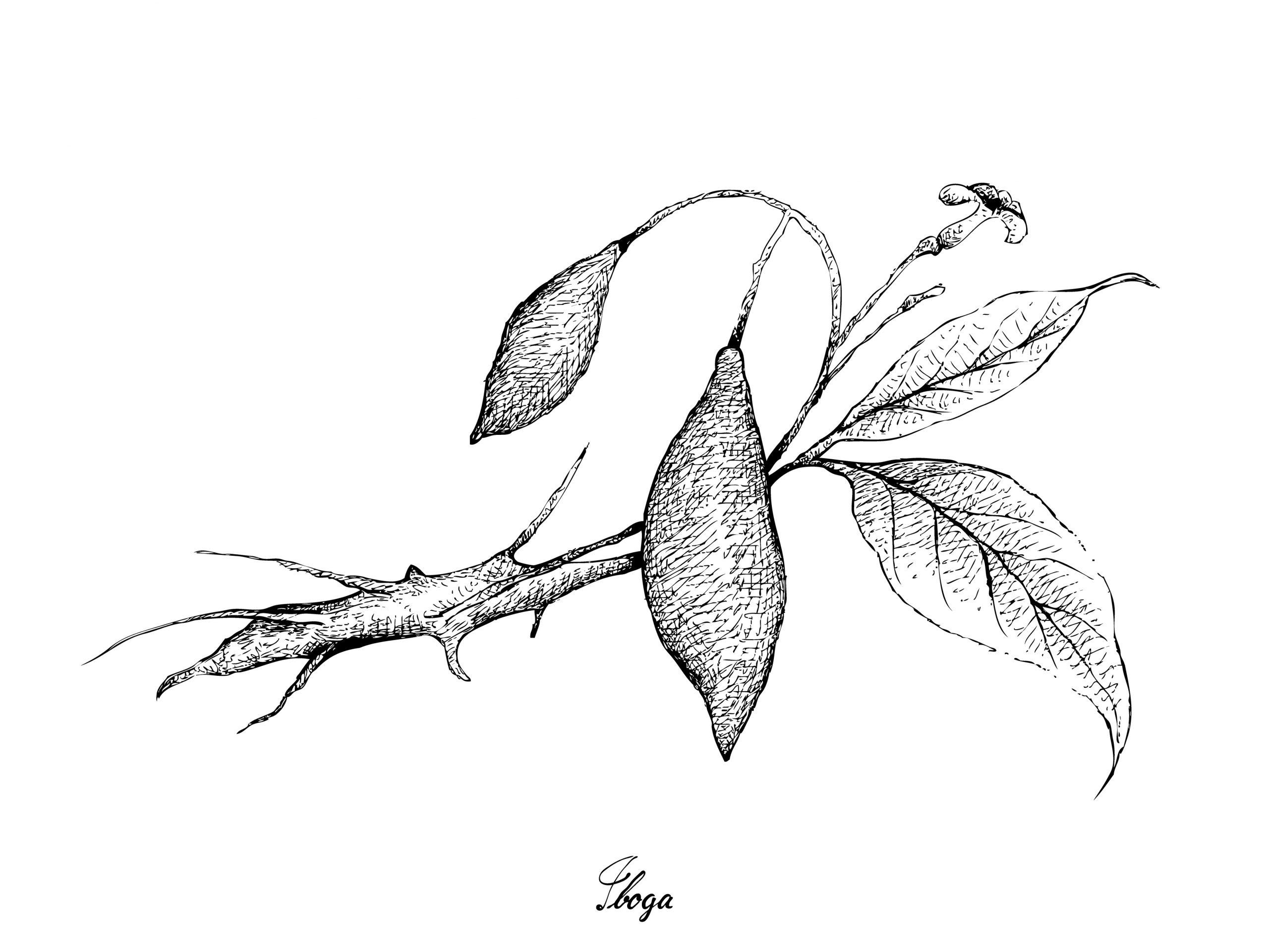Iboga illustration