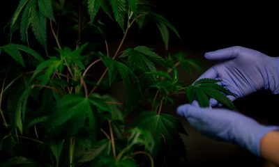Pair of hands holding cannabis plant